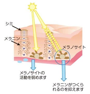 メラニンの生成を引き起こす「チロシナーゼ」の阻害効果があるハイドロキノンの働き