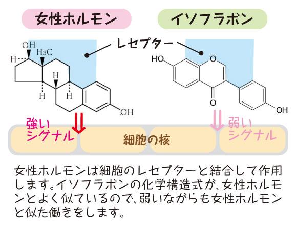 女性ホルモンと似た働きをする大豆イソフラボンの分子構造