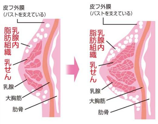 女性ホルモンが分泌され、乳腺が広がっていく様子