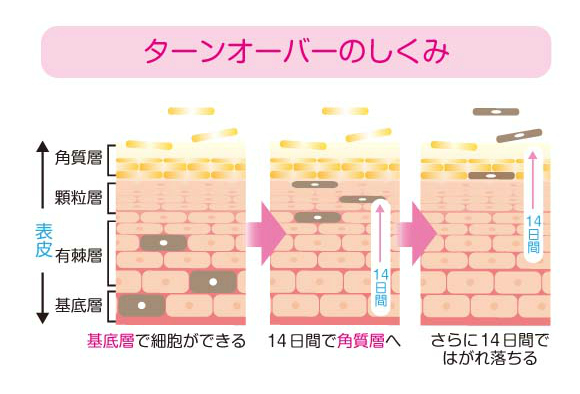 皮膚のターンオーバーの仕組み