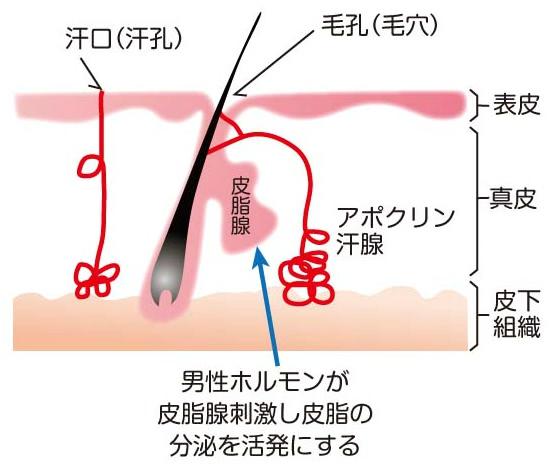 男性ホルモンによる皮脂の増加の様子