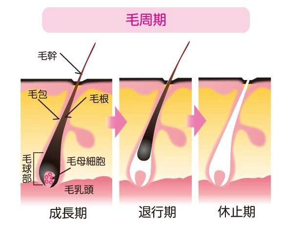 毛の成長期から退行期、休止期を表したイラスト