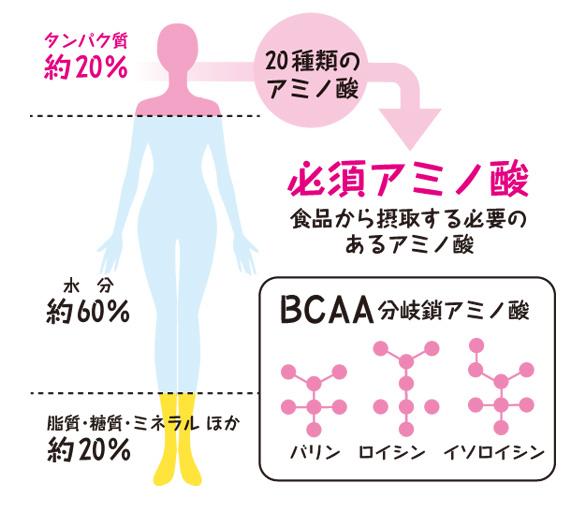 人間の身体はアミノ酸が20%をしめる