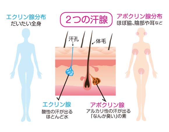 アポクリン腺とエクリン腺
