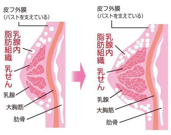 乳腺が大きくなる