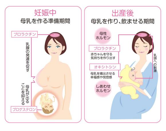 妊娠中と出産後のプロラクチンとプロゲステロンの働きの違い