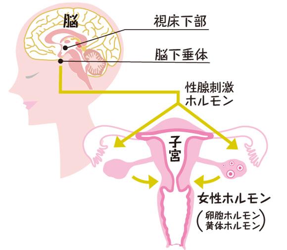 女性ホルモンの流れ
