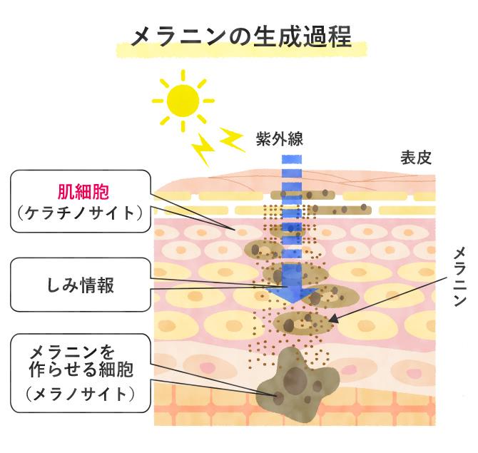 メラニンの生成過程