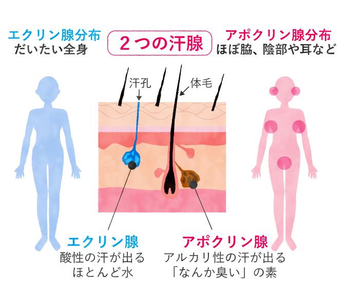 2つの汗腺