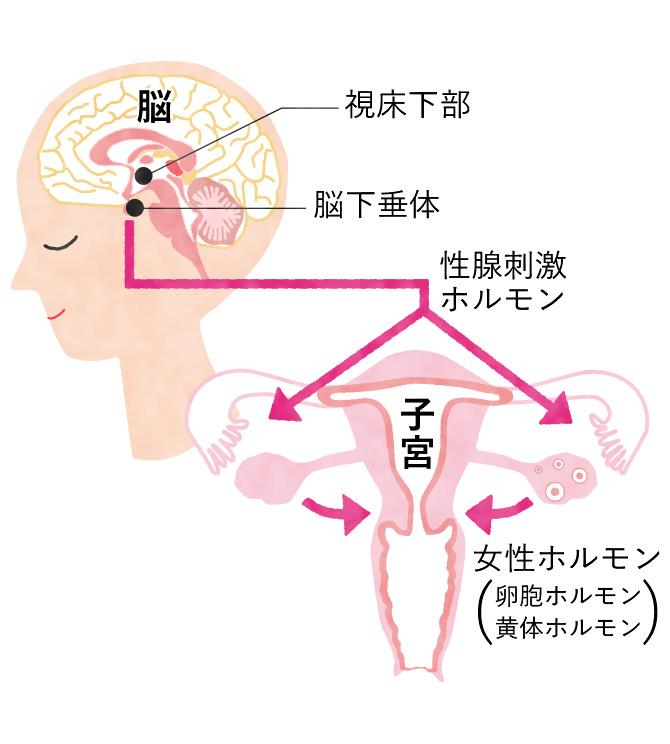 女性ホルモンの分泌